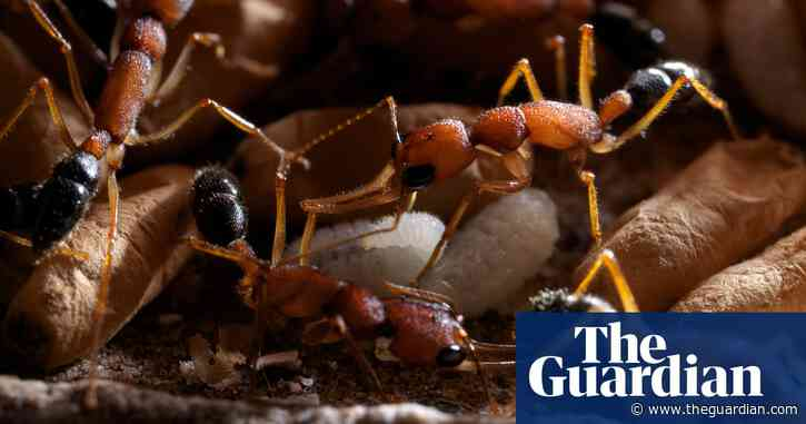 Indian jumping ants have ability to shrink brain and re-grow it — study
