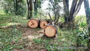 Polícia Ambiental constata corte de seis pinheiros em Imbituva - Hoje Centro Sul