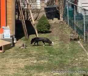 'GREAT PEST CONTROL': Fox family living under Etobicoke shed star in livestream - Toronto Sun