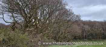 KIRKLEES: Row over ancient trees escalates - Bradford Telegraph and Argus