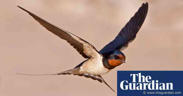 Country diary: a hospital visit, a motorway verge and the first swallow
