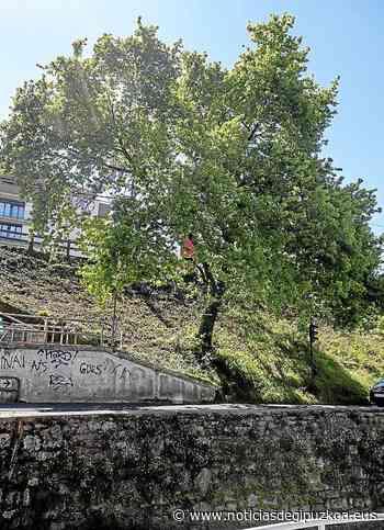 Donostia   El roble de Herrera sigue en pie, por ahora - Noticias de Gipuzkoa