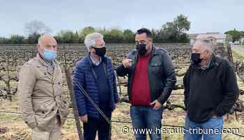 Gel des vignes : Castelnau-le-Lez va abonder les fonds de soutien aux viticulteurs - Hérault-Tribune