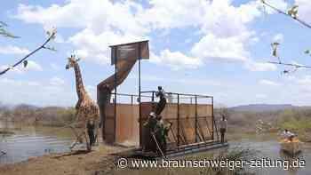 Kenia: Letzte Giraffe der Longicharo-Insel gerettet