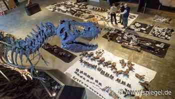 Für US-Millionär: Bayerische Dino-Forscher präparieren komplettes T-Rex-Skelett - DER SPIEGEL