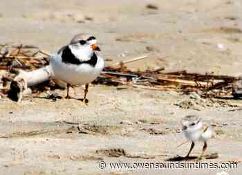 South Bruce Peninsula trying to appeal plover convictions - Owen Sound Sun Times