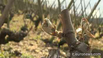 Valle del Rodano, vigneti gelati: a rischio la produzione dei vini Côte-Rôtie e Condrieu - Euronews Italiano