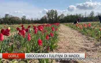 Gorle, il mese dei tulipani di Maddi - L'Eco di Bergamo
