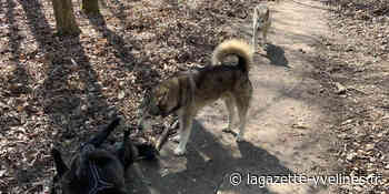 Les deux huskys sauvages traqués soir après soir par le Cipam - La Gazette en Yvelines