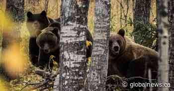 Crowsnest Pass program reminds Albertans to be respectful of bears - Global News