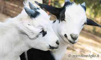 Violenza assurda a Spirano: rubano una pecora e bastonano a morte due capre - Prima Treviglio