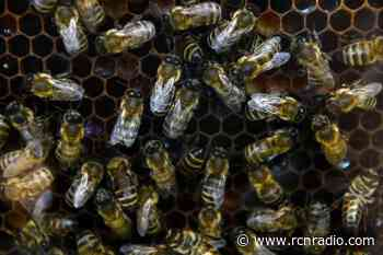 Un muerto y cuatro heridas por ataque de abejas en Puerto Wilches, Santander - RCN Radio