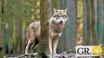 Nach mehreren Sichtungen in Meinersen: Infoabend zum Thema Wolf - Gifhorner Rundschau