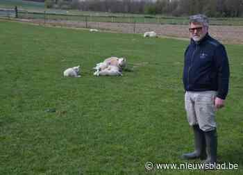"""Politie roept schapeneigenaars op om waakzaam te zijn na twee diefstallen van lammetjes: """"Deze dieven gaan professioneel te werk"""""""