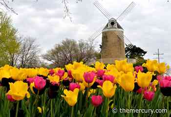 PLAN YOUR WEEKEND   Tulip Festival, live music, kite flying and more - Manhattan Mercury