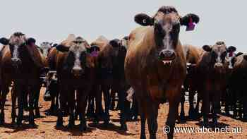Young cattle price makes history by surpassing 900 cents but there is a downside