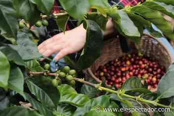 Café y cítricos: las apuestas de los emprendedores del campo en Montebello, Antioquia - El Espectador