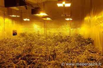 Solbiate Arno, in casa una piantagione di marijuana: trovati oltre 6 chili di droga - MALPENSA24 - malpensa24.it