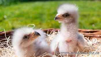 Nachwuchs im Weltvogelpark Walsrode: Drillinge im Adlerhorst - Süddeutsche Zeitung