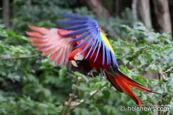 Liberan diez guacamayas rojas, ave en peligro de extinción en Honduras - Hola News