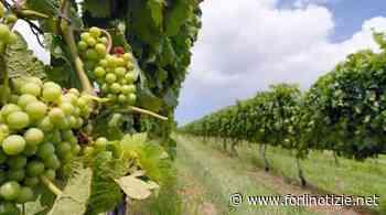 Savignano sul Rubicone. Chiusura centro raccolta uve inevitabile. Previste misure di sostegno ai soci - forlinotizie.net