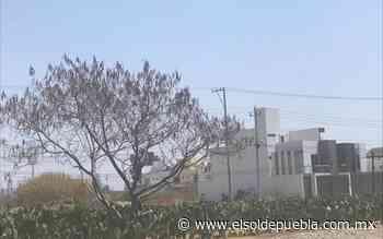 Por pandemia baja número de productores de nopal en Tlaxcalancingo - El Sol de Puebla