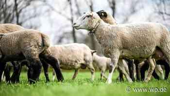 Schafskäse aus Medebach und eine Laufbahn für Brilon - Westfalenpost