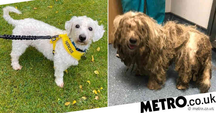 Dog with fur so matted he couldn't walk is totally transformed
