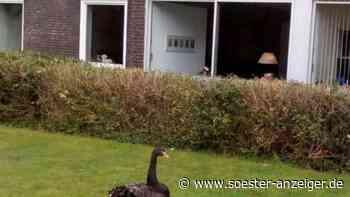 Totgebissener Trauerschwan im Kurpark Bad Sassendorf: Züchter glaubt nicht an Angriff durch Fuchs - soester-anzeiger.de