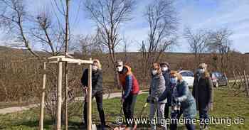 """Armsheimer Verein pflanzt Ahorn in der """"Unteren Kachel"""""""