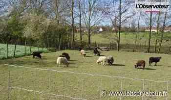 Orchies : Un des voleurs de moutons de Paturéco identifié par son ADN   L'Observateur - L'Observateur