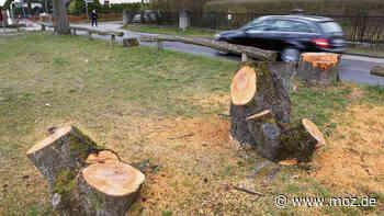 Natur: Warum in Hoppegarten Bäume gefällt worden sind - moz.de