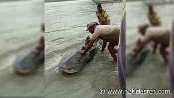 Así rescataron a tiburón atrapado en la orilla del mar en Unguía, Chocó - Noticias RCN