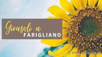 """Farigliano """"paese dei girasoli"""": semi in distribuzione a tutta la popolazione - Cuneo24 - Cuneo24"""