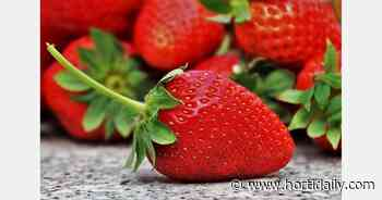 First strawberry crops in biggest greenhouse in Orenburg region - hortidaily.com