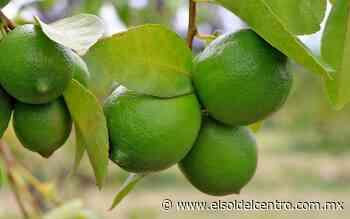 Destaca Calvillo en producción de limón - El Sol del Centro