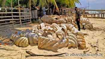 Conchas gigantes no valor de R$ 139 milhões são apreendidas nas Filipinas - Olhar Digital