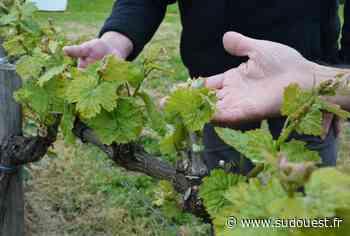 Bizanos : le vignoble de Franqueville a évité le pire - Sud Ouest