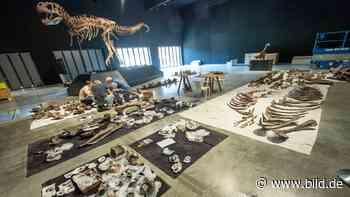 60 Millionen Jahre alte: Forscher in Denkendorf setzen Skelett zusammen - BILD