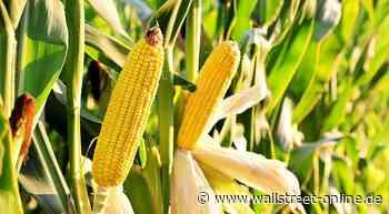 Mais: Mais mit frischem Kaufsignal