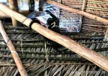 Loreto: Rescatan a tres monos choros en Yurimaguas - INFOREGION