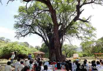 Conoce el algarrobo, el emblemático árbol de la costa norte de Perú - Agencia Andina