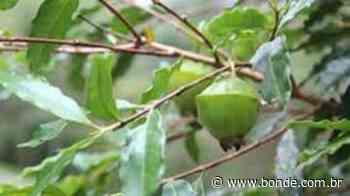 Os benefícios nutricionais do cambuci, fruto nativo da Mata Atlântica - Bonde. O seu Portal de Notícias do Paraná