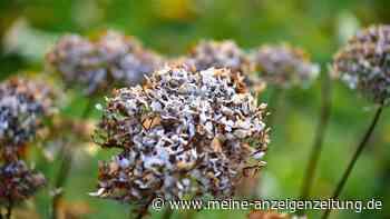 Hortensien erfroren? Bloß nicht wegwerfen – So können die Pflanzen gerettet werden