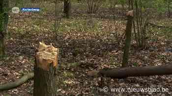 """Vandalen vernielen vijf eiken in privébos in Meerbeek: """"Hebben mensen dan geen respect voor de natuur?"""""""
