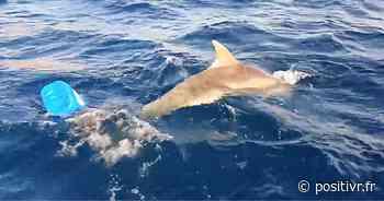 VIDÉO. Au large de Saint-Cyr-sur-Mer, il repère un dauphin piégé par une bouée et le libère - POSITIVR