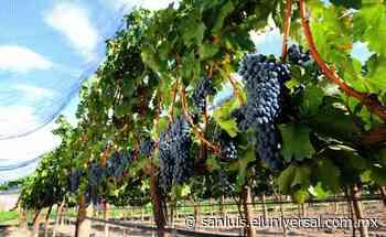 Vinos de San Luis Potosí. Qué viñedos conocer cerca de la capital potosina | San Luis - El Universal