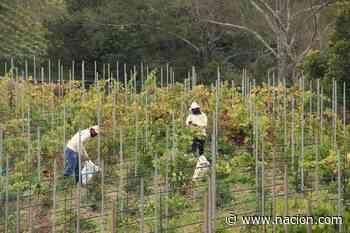 El primer Malbec tico ya se cosecha en los cerros de Copey de Dota - La Nación Costa Rica