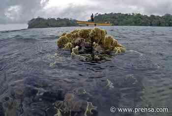Los jardineros del mar que restauran arrecifes en Portobelo - La Prensa Panamá