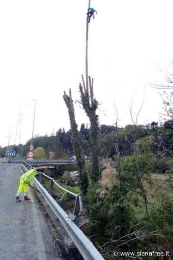 Tangenziale Siena, il Consorzio di Bonifica esegue intervento su pianta pericolante a Siena Ovest - SienaFree.it